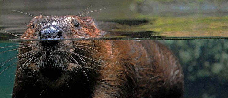 photo of a beaver swimming