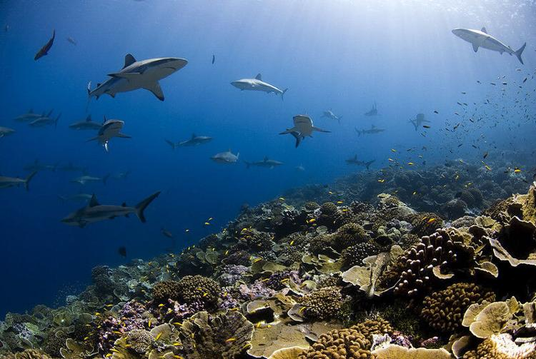 sharks over coral reef in Millennium Atoll in Southern Line Islands, Kiribati