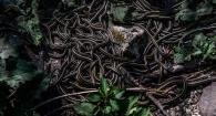 photo of numerous garter snakes on the ground