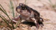 photo of a spadefoot toad