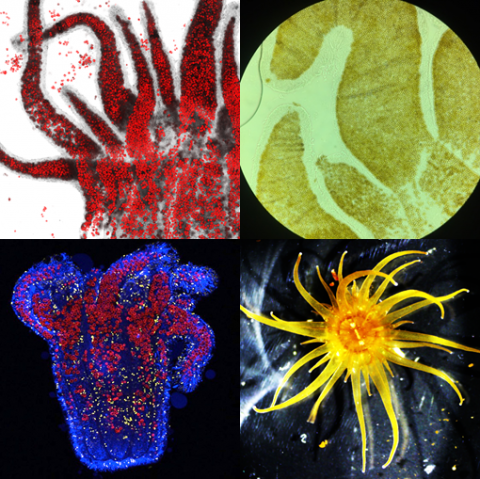 collage of four images of cnidarians and dinoflagellates